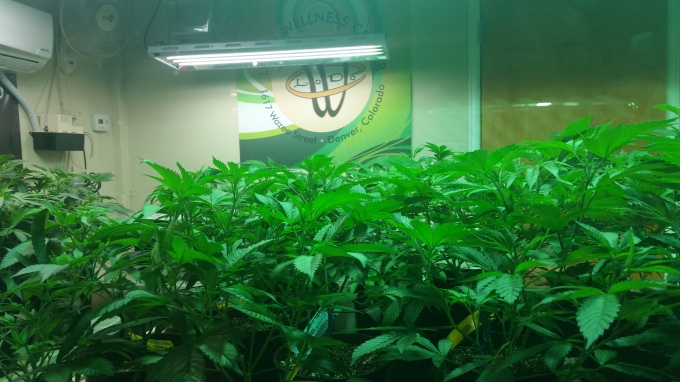 Marijuana Plants in Denver Dispensary