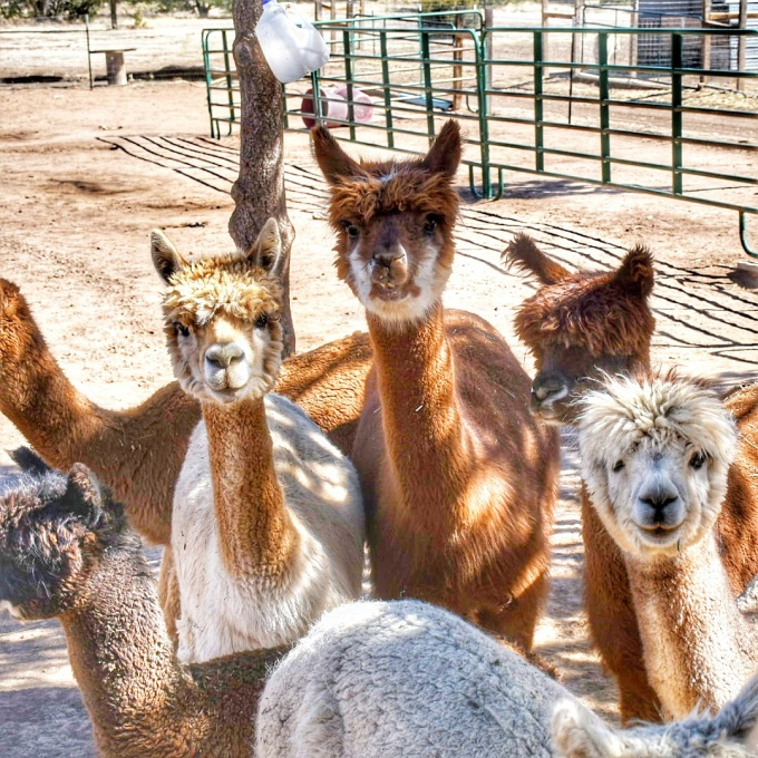 High Country Alpaca Ranch